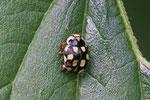 Vierzehnpunktiger Marienkäfer, Propylea quatuordecimpunctata