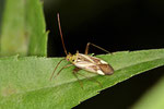 Gemeine Zierwanze, Adelphocoris lineolatus