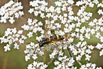 Blattwespe, weibl., Tenthredo amoena