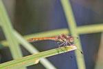 Große Heidelibelle, männl., Sympetrum striolatum