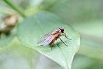 Echte Fliege, Phaonia rufiventris