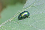 Blattkäfer, Oreina cf. cacaliae