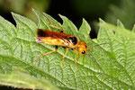 Gespinstblattwespe, Pamphilius betulae