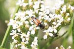 Zweibindiger Schmalbock, Stenurella bifasciata