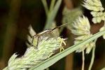 Gras - Weichwanze, männl., Notostira cf. elongata