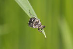 Stolperkäfer, Valgus hemipterus