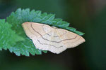 Rotbuchen-Gürtelpuppenspanner, Cyclophora linearia