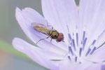 Matte Schwarzkopfschwebfliege, Melanostoma scalare