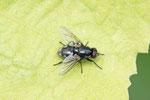 Echte Fliege, Morellia aenescens