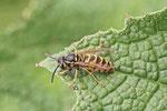 Gemeine Wespe, Vespula vulgaris