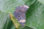 Blauer Mosaikfalter, Hamadryas amphinome
