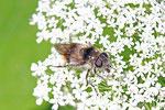 Bunte Erzschwebfliege, Cheilosia illustrata