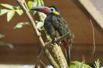 Guyana-Tukan