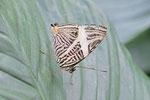 Zebra-Mosaikfalter, Colobura dirce