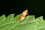 Faulfliege, Meiosimyza sp. / Sapromyza sp.