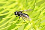 Erzschwebfliege, Cheilosia sp.