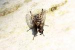 Raupenfliege, Campylocheta praecox