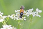 Bürstenhornblattwespe, Arge cyanocrocea