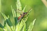 Blattwespe, männl., Tenthredopsis nassata/scutellaris