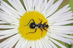 Ameisensichelwanze, Larve, Hirmacerus mirmicoides
