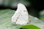 Weißer Morpho, Morpho polyphemus