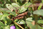 Grashüpfer, weibl., Chorthippus - Biguttulus - Gruppe