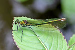 Gebänderte Prachtlibelle weibl., Calopteryx splendens