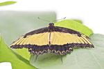 Königs-Schwalbenschwanz, Papilio androgeus