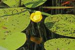 Große Teichrose, Nuphar lutea