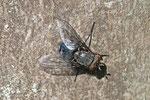 Schmeissfliege, Calliphora vicina