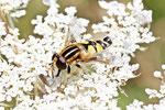 Gr. Sumpfschwebfliege, männl. Helophilus trivittatus
