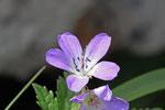 Wald-Storchschnabel, Geranium sylvaticum