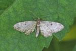 Nadelgehölz-Blütenspanner, Eupithecia tantillaria