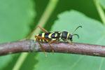 Gemeiner Widderbock, Clytus arietis