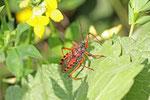 Rote Mordwanze, Rhynocoris iracundus