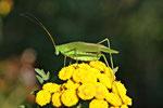 Gemeine Sichelschrecke, Phaneroptera cf. falcata