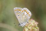 Hauhechel-Bläuling, männl., Polyommatus icarus