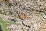 Horn-Weberknecht, männl., Phalangium opilio