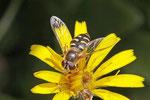 Feldschwebfliege, Eupeodes lapponicus