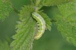Raupe der Kleinen Kätzcheneule, Orthosia cruda