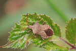 Lederwanze, Coreus marginatus