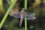Vierfleck, Libellula quadrimaculata