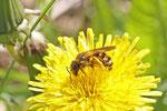Furchenbiene, Halictus scabiosae