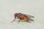 Echte Fliege, Phaonia subventa