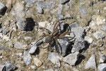 Sumpf-Wolfspinne, Pardosa cf. palustris