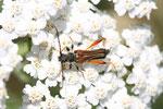 Braunroter Spitzdeckenbock, Stenopterus rufus