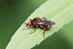 Gem. Breitstirn - Blasenkopf - Fliege, Sicus cf. ferrugineus