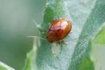Distelfloh-Käfer, Sphaeroderma testaceum