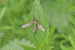 Frühlingsschnake, Tipula vernalis