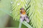 Weissbandschwebfliege, Leucozona lucorum